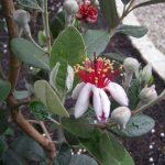 DNA鑑定、フェイジョアの花
