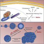 p53変異はメバロン酸経路を活性化して乳腺組織をがん化する。スタチンが乳がんに有効?