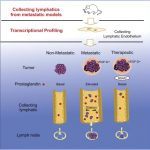 VEGF-Dは集合リンパ管上皮で産生されるプロスタグランディンを介して腫瘍の転移を制御する