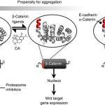 carnosic酸はβ-カテニンとBCL9の結合を阻害し、発がん性β-カテニンの働きを抑制する
