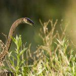 ヘビの毒から鎮痛効果のあるペプチドを発見―マンバルジンの標的はASICチャネル
