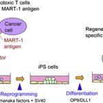 iPSでリンパ球大量作製=がんやエイズの治療に応用の可能性