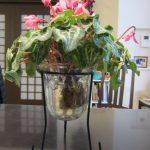 シクラメンとサボテンの水栽培