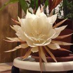 ヒガンバナも月下美人もソメイヨシノと同じクローン植物。全国すべて同一の遺伝子!