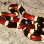 サンゴヘビの毒はGABA A受容体に結合してGABAの働きを増強し痙攣をひき起こす