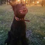 噛みついたようにみえるイヌの噛みつき防止用口輪