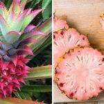 遺伝子組換え作物ですが、ピンクパイナップルはいかが?
