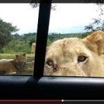 南アフリカのサファリパークでライオンが車のドアを開けた