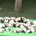 パンダの赤ちゃん23頭を公開 中国 四川省