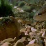 2枚貝が身体の一部をエサの小魚に擬態してブラックバスをおびき寄せ、幼生をバスのエラに寄生させる