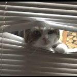 ブラインドを突き破るネコ