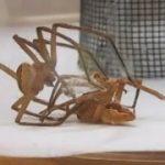 命がけの「緊縛メス蜘蛛」との交尾