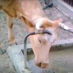 賢いウシの動画集