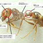 ヒアリの毒とはどんなものか?