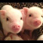 イスラム教で豚を食べることが禁じられている理由