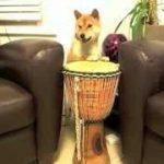柴犬がジェンベの演奏その他の小技をみせる動画