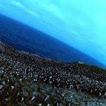 ペンギンの卵は猛禽類に狙われている
