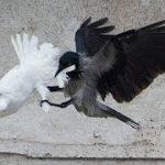 カモメとカラスがローマ教皇の「平和の鳩」を襲う