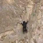 クマのロッククライミング