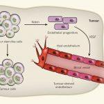 神経膠芽腫(glioblastoma)幹細胞様細胞は、内皮細胞に分化して腫瘍内の血管をつくる