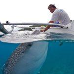 現生最大の魚「ジンベイザメ」に素手で餌ををやるフィリピンの漁師たち