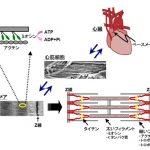 シルデナフィル(バイアグラ®)とBNPによる拡張期心不全治療の可能性