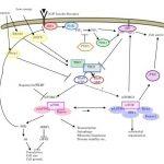 TORC1/2キナーゼ阻害薬を用いた白血病治療