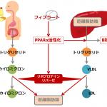 中性脂肪を下げる選択的PPARαモジュレーター(SPPARMα)ペマフィブラート(パルモディア®)