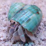 道具使うタコ発見!ココナツの殻で身を守る 豪研究者