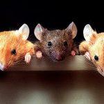 テロメラーゼ欠損マウスの加齢性変化はテロメラーゼの再活性化により回復する―若返りに成功!?