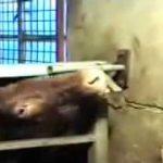 牝牛のイボンヌ、ついに捕まる 3か月以上の逃走劇に幕