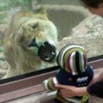 1歳児を真剣に食べようとするメスライオン
