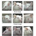 マウスの表情を読む: モルヒネ、解熱鎮痛薬、偏頭痛薬などの効果判定に使える。
