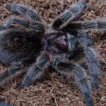 Spiderman's eye: ペットのタランチュラによる「極細の毛」の噴射攻撃