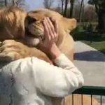 This Swiss lady raises those 2 lions but when they get too big they were put in a zoo. 7 years later she goes to visit. Watch.