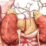 """""""痕跡器官""""とされた脾臓の役割解明"""