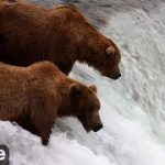 アラスカのヒグマのサケ狩り解禁。ライブカメラ映像公開中!