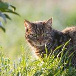 侵略的外来種としてのネコ