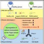 遺伝性パーキンソン病患者由来のiPS細胞から作成したドーパミン神経細胞のミトコンドリアストレス感受性をカルシウム拮抗薬が抑制した