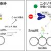 B型肝炎に根治薬候補…抗寄生虫薬「ニタゾキサニド」にウイルス除去効果