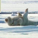 海から上がったホッキョクグマの親子が体を乾かす方法