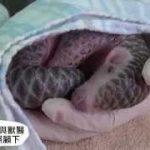 センザンコウの赤ちゃん