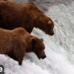 クマがサケを獲っているライブカメラ