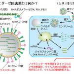 インフルエンザ・ウィルスが体内に侵入する動画