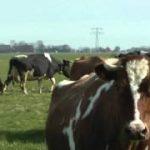 牛のダンス