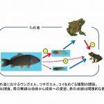 コイとウシガエルとツチガエルの関係