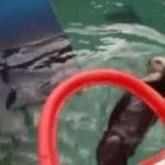 ラッコが華麗なダンクシュート、米動物園でリハビリに活用