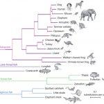 進化的に四肢動物に一番近い魚は、シーラカンスではなく肺魚―シーラカンスの進化は遅かった