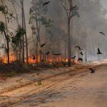 北オーストラリアに住むトビやハヤブサの仲間は、狩りのために意図的に火事を広げる