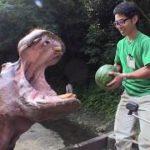 カバがスイカを食べる動画